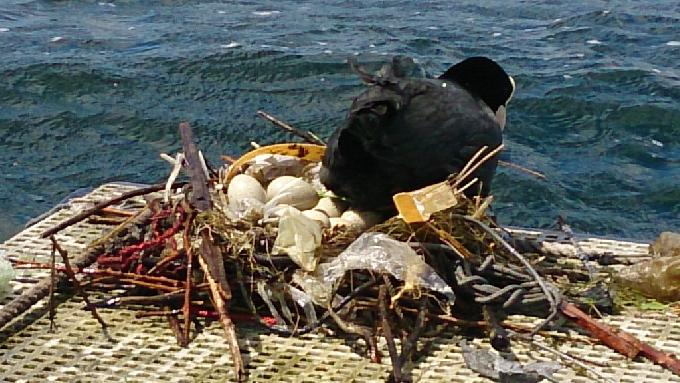 Photo: Coot and eggs